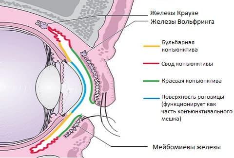 анатомия конъюнктиви