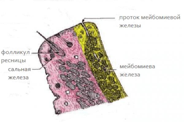 мейбомит