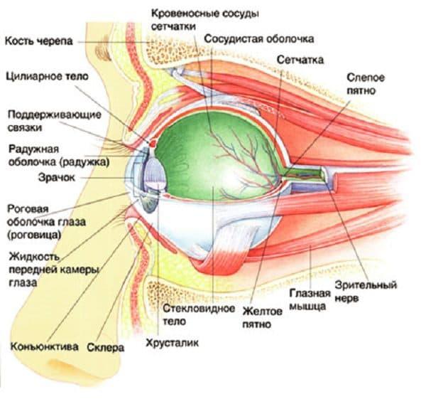 составные части глаза