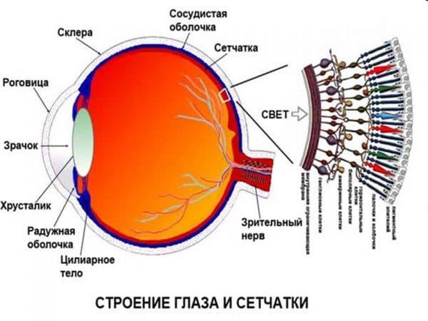 схема строения глаза и сетчатки
