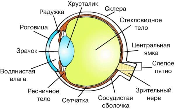 схема строения глаза глаза человека