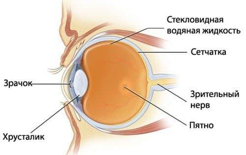 схема строение глаза