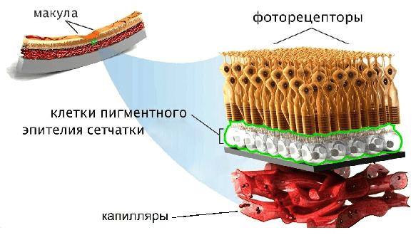 схема строения макулы