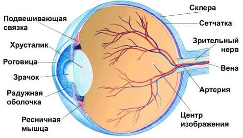 схема строения глазного яблока