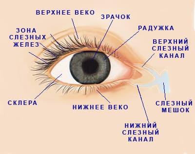 схематическое изображение строения глаза