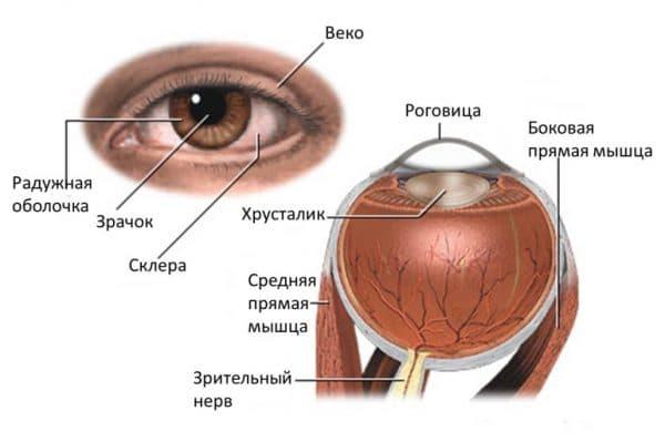 схема строения века и глаза