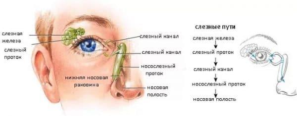 слезные каналы у человека